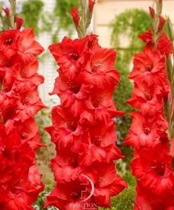 Гладиолус Крупноцветковый Коразон (7шт)